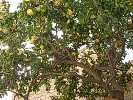 The great lemon tree at Lemon Tree House, apartments to rent for holidays in Bosa, Sardinia